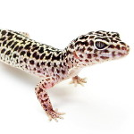 Illustration Gecko
