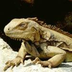 Illustration Iguane